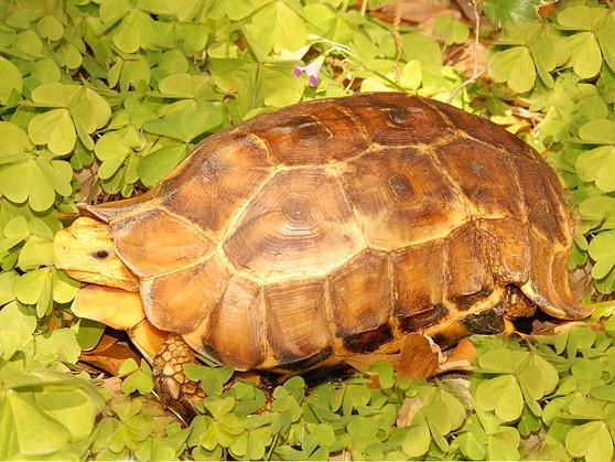 Serrated Hinge Backed Tortoises for sale