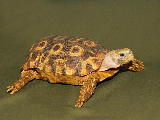 Speke'S Hingeback Tortoises for sale