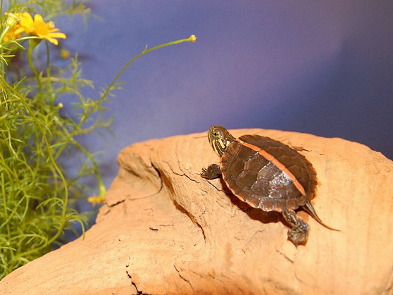 Wide Striped Southern Painted Turtles for sale