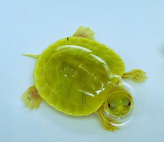 Best Emerald Albino Paradox Turtles