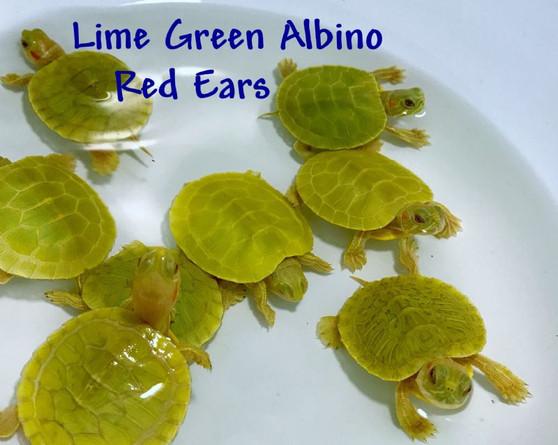 Best Lime Green Albino Red Eared Sliders