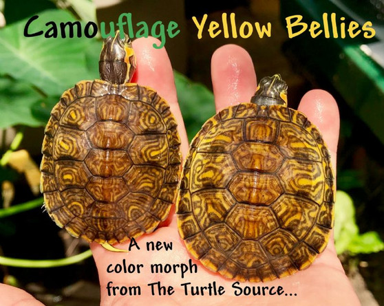 Best Camouflage Yellow Bellied Sliders For Sale