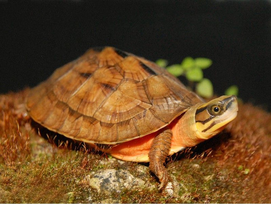 Best Chinese Golden Coin Turtles for Sale