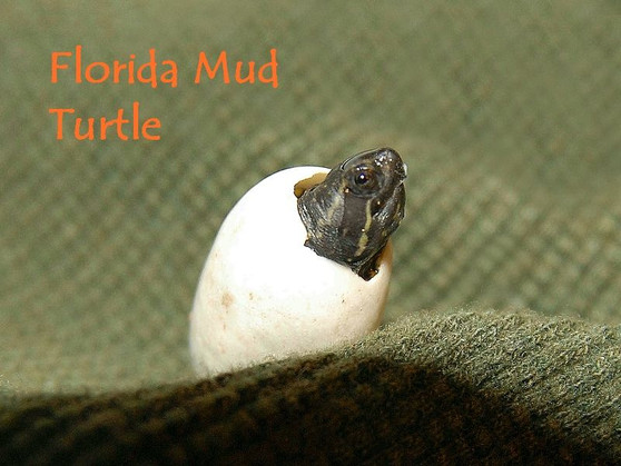 Florida Mud Turtle Hatchling
