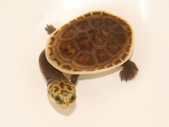Parker's Snake-Necked Turtle
