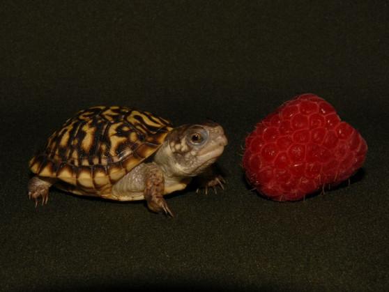 Desert box baby munching on a raspberry.