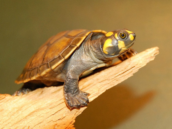 Best Amazon Yellow Spotted River Turtles For Sale