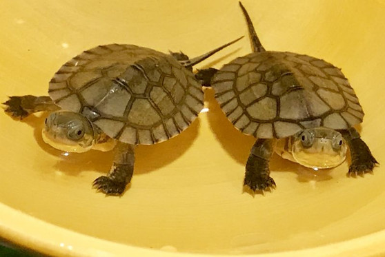 Best Asian Yellow Pond Turtles