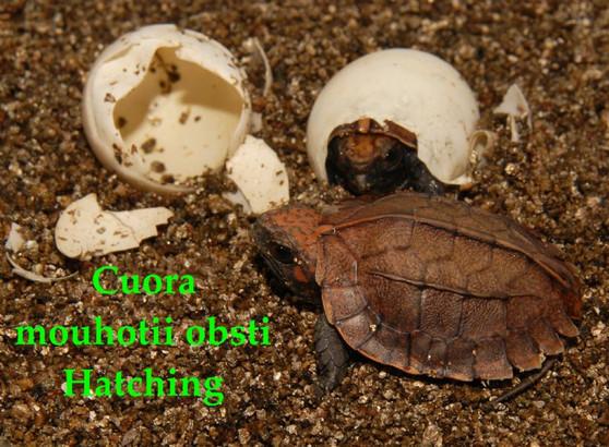 Annam Three-Keeled Turtles