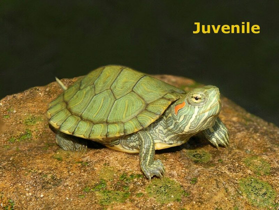 Red Eared Sliders for sale- chilling on a rock.
