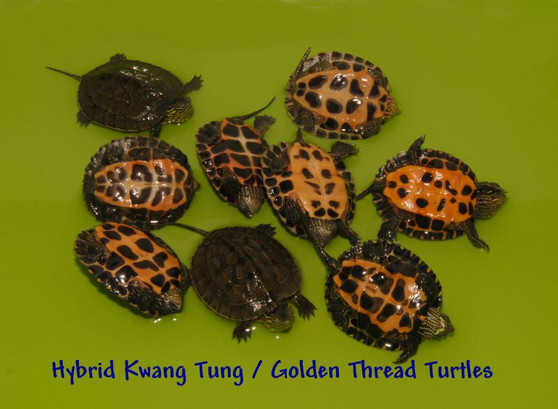 Kwangtung River Turtles for sale
