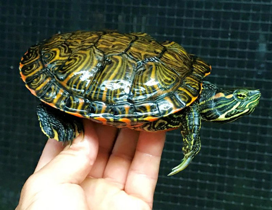 Southern River Cooter/Red Eared Slider Hybrid