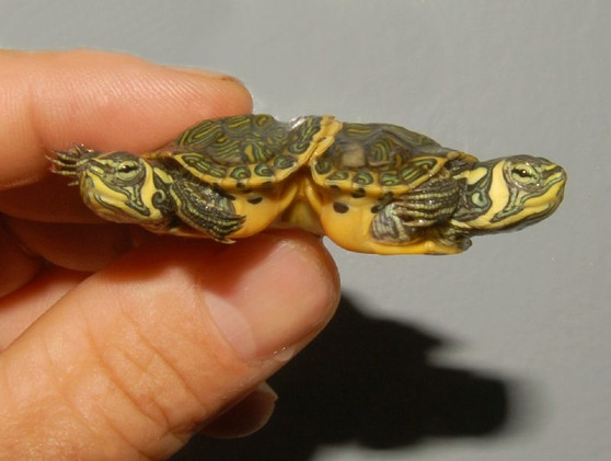 Siamese Yellow Bellied Sliders for sale
