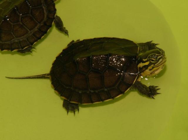 Vietnamese Pond Turtle