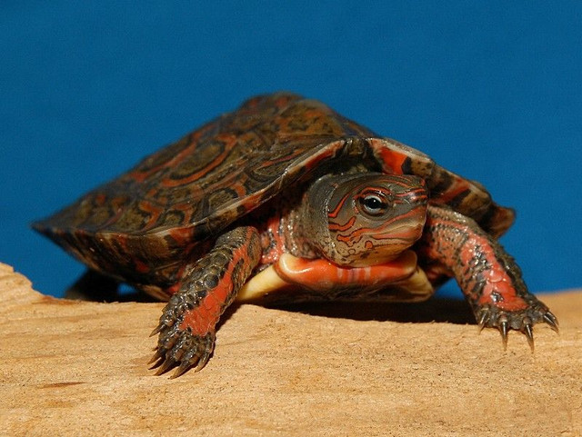 Mexican Red Wood Turtle