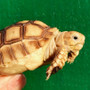 Best Sulcata Hatchlings For Sale
