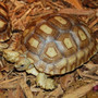Large Juvenile Sulcata Tortoise By The Turtle Source