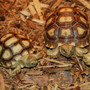 Large Hatchling and Juvenile Sulcata Tortoises By The Turtle Source