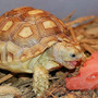 Sulcata Juvenile Eating
