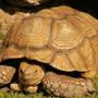 Head shot of an Adult Sulcata Tortoises