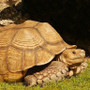 Profile of a large Adult Sulcata Tortoise