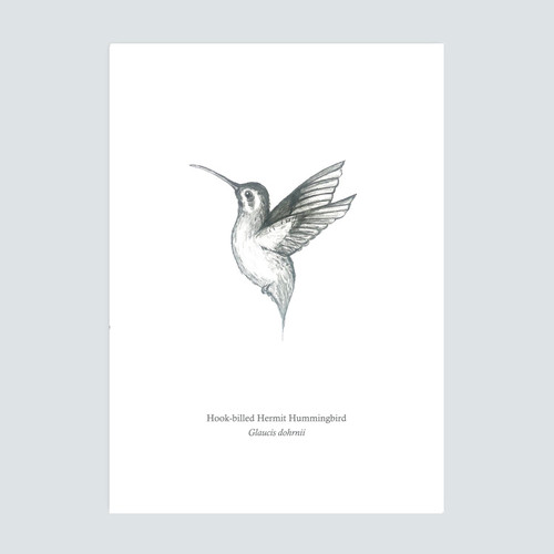 The BirdLife Collection: Hook-billed Hermit Hummingbird In Flight - A3 Print