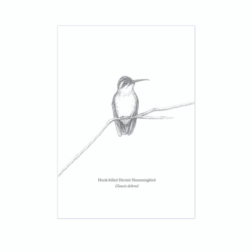 The BirdLife Collection: Hook-billed Hermit Hummingbird on a branch - A3 Print