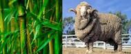 Bamboo Viscose & Lyocell vs Merino Wool