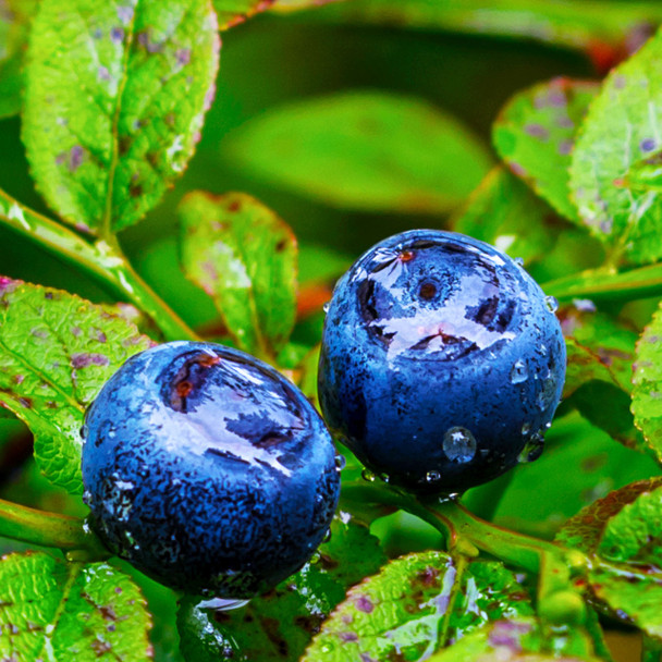 Wild Huckleberry Flavor Concentrate
