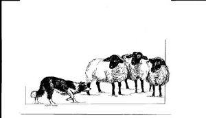 Border Collie & Sheep Note Card