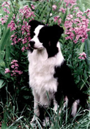 Border Collies and Flowers Garden Flag