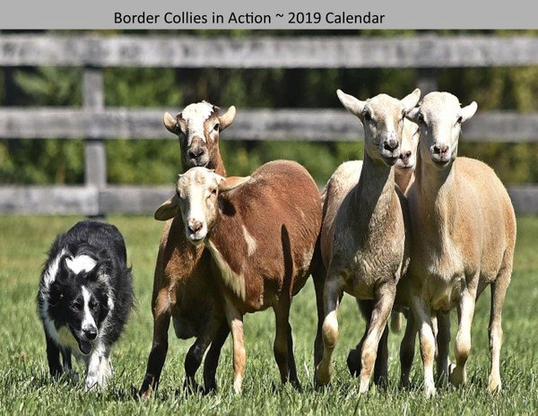 Border Collies in Action 2019 Calendar