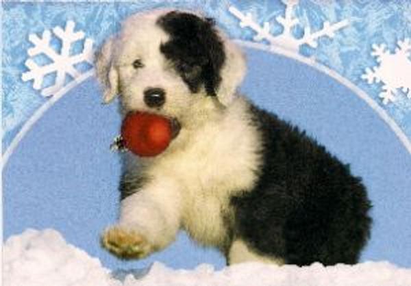 Christmas Border Collie Pup
