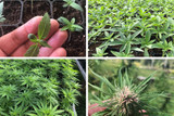 The 4 Stages of the Hemp Growth Cycle