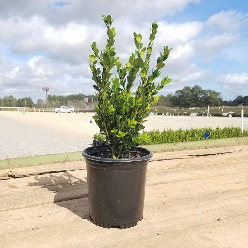 apanese Boxwood (Buxus) Shrub