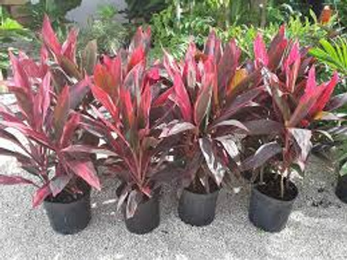 Cordyline Red Sisters Plant