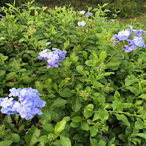 Imperial Blue Plumbago Shrub with Blue Flowers