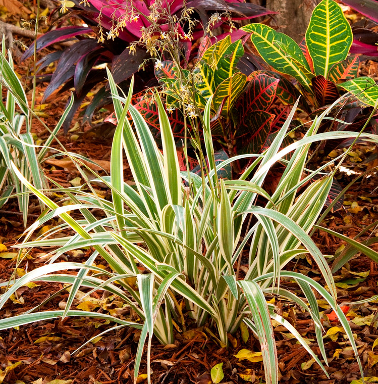 Variegated Flax Lily 1 gallon