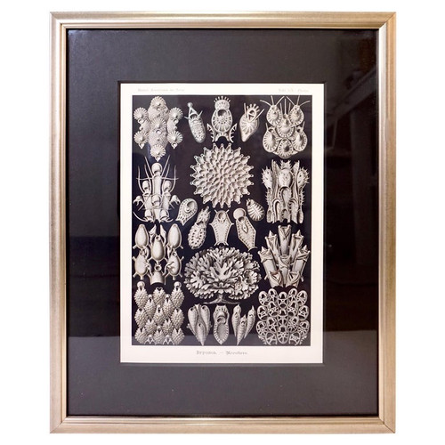 Art Forms of Nature by Ernst Haeckel, Bryozoa