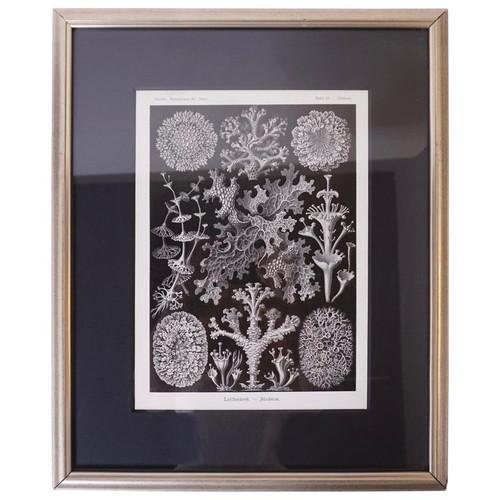 Art Forms of Nature by Ernst Haeckel, Lichenes