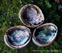 Abalone Shell Incense Burner & Smudge Bowl