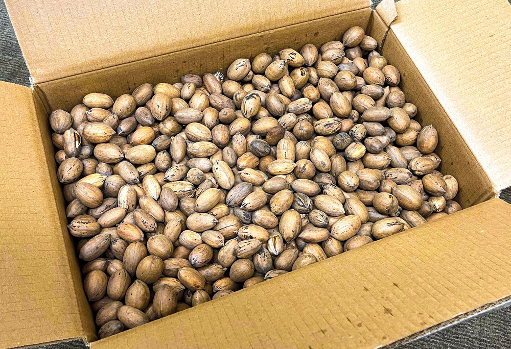 In-Shell Squirrel Pecans 25 lbs - In Shell Pecans - Due to state regulations, we are unable to ship in-shell pecans to California or Arizona.