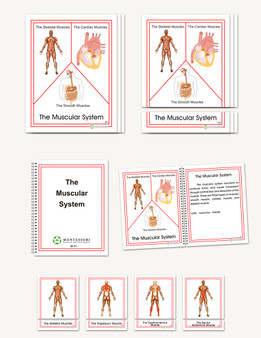 The Muscular System, Early Childhood - sku BP.91 - 1