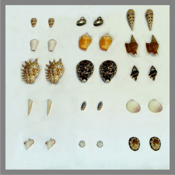 Seashell  Matching - Object to Object - sku LAP.15A - 1