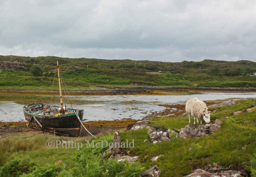 Sheep Grazing by the Old Boat Framed Photo