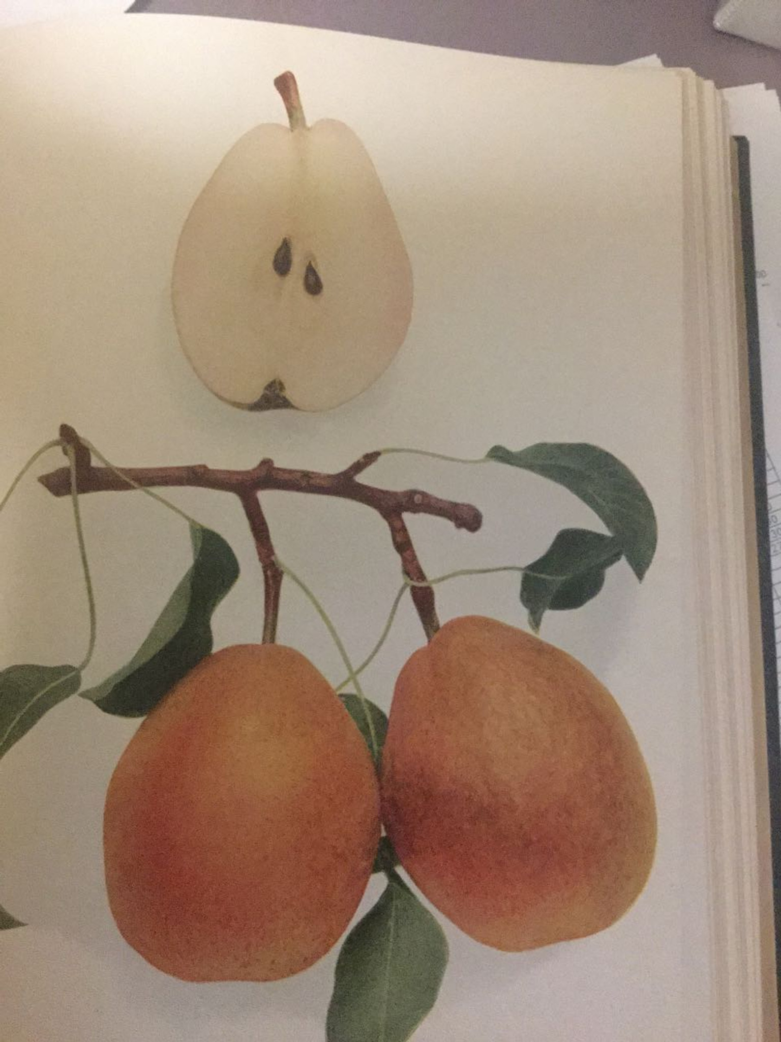 Beurre Easter Pear - Heritage Fruit Trees