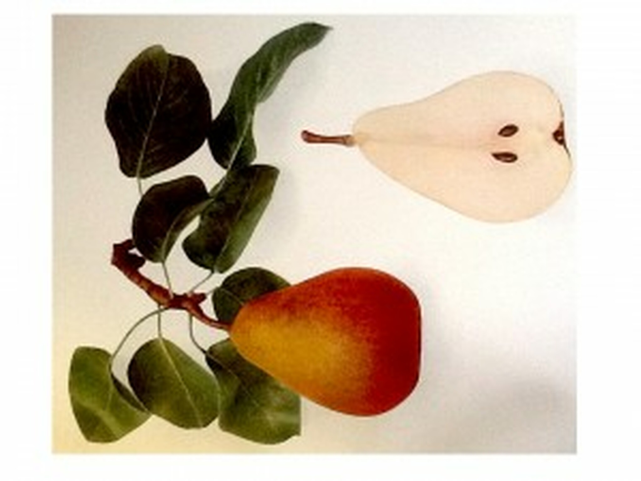Beurre Hardy Pear (semi-dwarf) - Heritage Fruit Trees