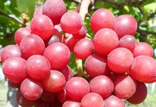 Red Prince Grape