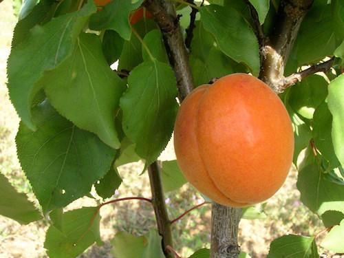 Trevatt Apricot (dwarf)