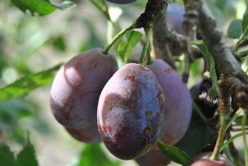 Moyer European Plum - Prune